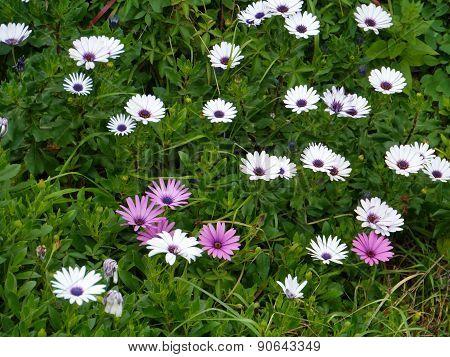 Flowering anemones during springtime
