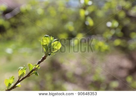 Buds opening - Springtime background.