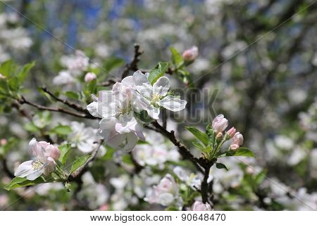 Crab apple blooms - Springtime background.