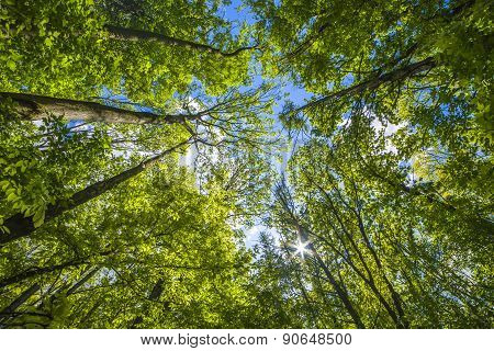 Natural Background, Fresh Green Tree Foliage In The Forest