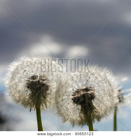 Two Dandelion Blow Balls