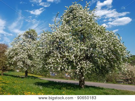 Lush blooming pear trees