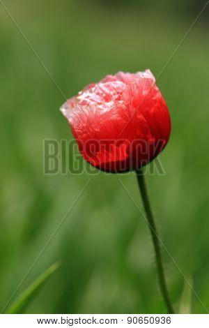 Red wild poppy in summer