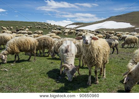 Herd of sheep graze on green mountain meadow. Republic of Georgia.
