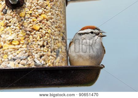 Chipping Sparrow Eating