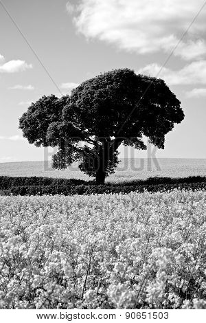 Black White Tree In Rapeseed Fields