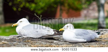 United Kingdom, Devon Seagulls Sitting On The Stone Walls In Park