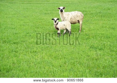 Two Sheep On Green Grass