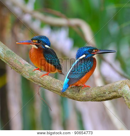 Blue-eared Kingfisher Bird
