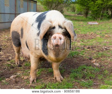 Pig with black spots looking to camera standing in a field