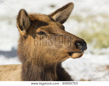 Portrait Of A Cow Elk