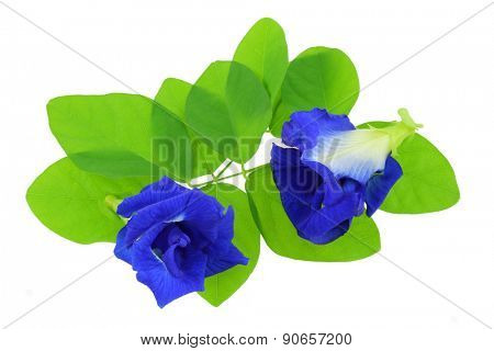 Closeup photo of Clitoria ternatea (Butterfly Pea, Blue Pea), isolated on white