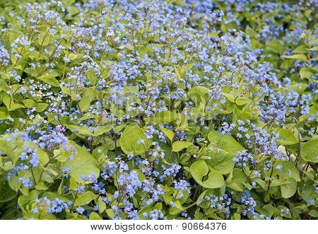 Blue forget-me-not flowers