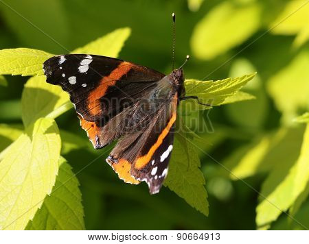Red Admiral Butterfly - Vanessa atalanta