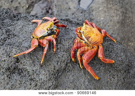 Zayapas Couple Crabs