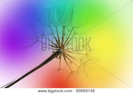 Dandelion On Rainbow Background