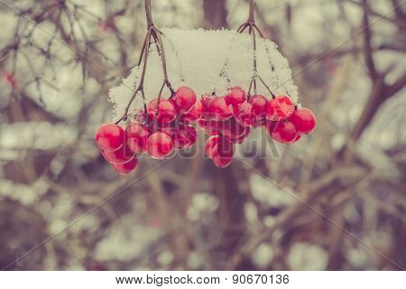 Retro Mountain Ash In Snow