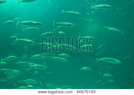 School Of Fishes In An Aquarium