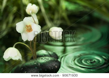 Beautiful White Flower Among The Black Stones  In The Rain