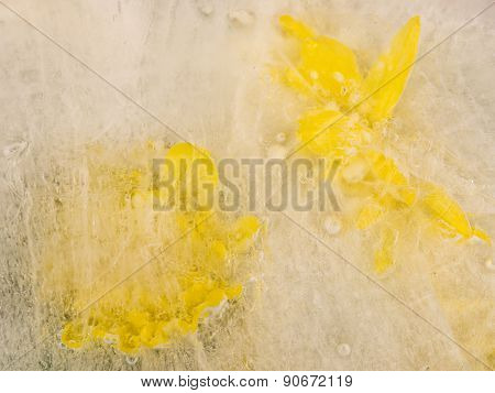 Two Yellow Chrysanthemums On Ice