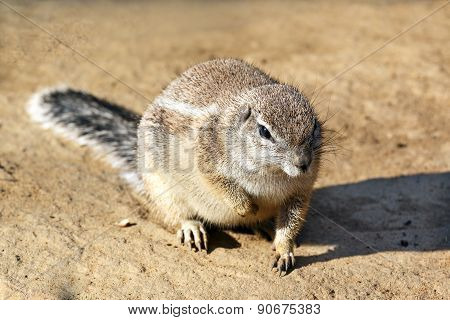 Closeup of cute wild rodent sitting on grain