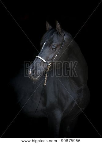 Black Arabian Horse Portrait On Black Background