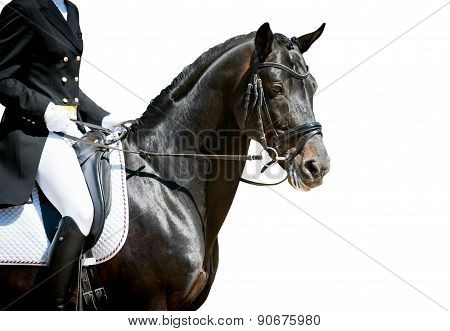 Dressage Horse Portrait On White Before The Competition