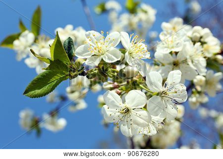 Blooming cherry tree twigs in spring on blue sky background