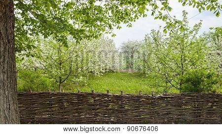 Flowering Apple Trees