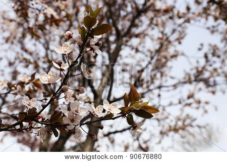 Blooming cherry tree twigs in spring close up
