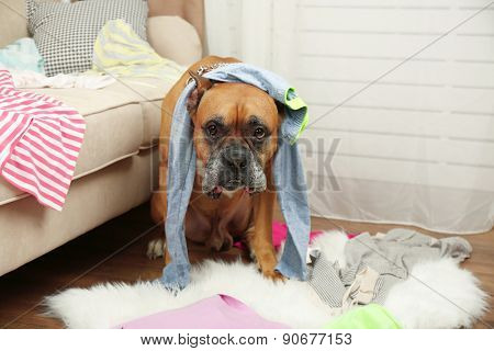 Dog demolishes clothes in messy room