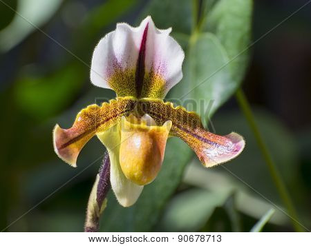 Venus' Slipper (paphiopedilum Sp.)