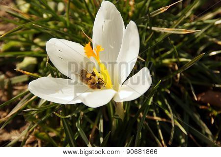 A Bee In A Gleaming White Crocus.