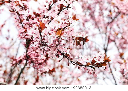Blooming tree twigs with pink flowers in spring close up