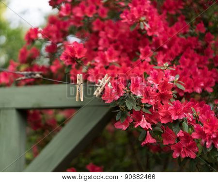 Backyard Spring Scene With Red Azaleas And Vintage Clothesline