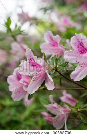 Pink Azaleas In Spring Closeup