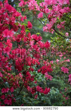 Red And Pink Azalea Bushes In Full Bloom In Spring