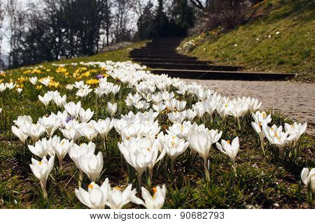 White Crocus Flower Next To A Park Way
