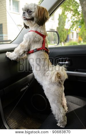 Small Dog Wait For In Car.