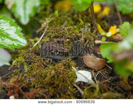 Grass Lizard