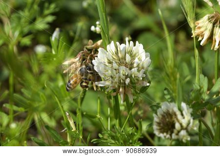 Honey bee pollinating