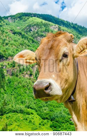 Alpine brown cow on meadow, Austria