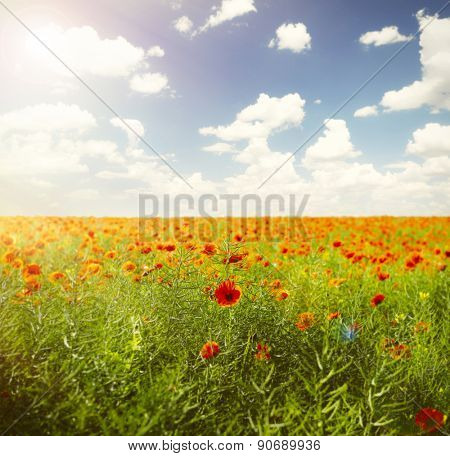 Poppies field against blue sky