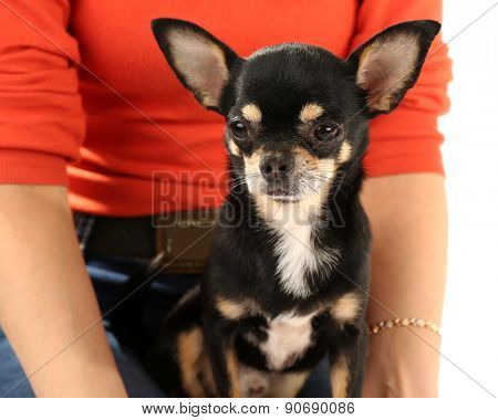 Cute chihuahua puppy sitting on female hands isolated on white