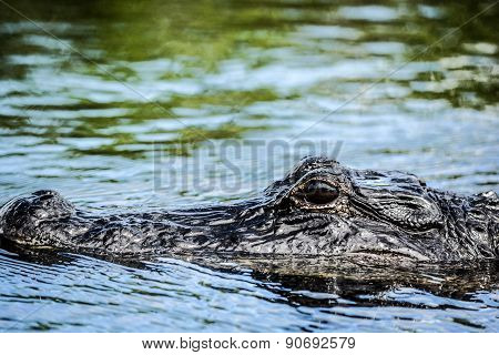 Aligator on water