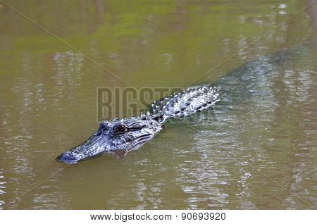 Alligator swimming in the swamp