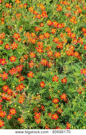 A background of a single type flowering marigold with lacey foliage known as a signet marigold.  This particular variety is Scarlet, Scarlet.  Botanical name is Tagetes signata Scarlet, Scarlet.