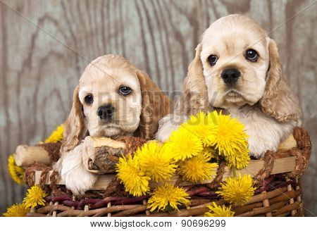 litter of american cocker spaniel puppies and dandelions