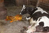image of calf cow  - cow licking clean its just newborn red calf - JPG