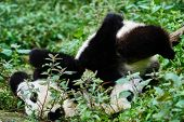 picture of panda  - two Panda bears cubs playing Sichuan China forest - JPG